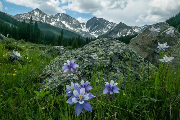 Columbines at Collegiate Peaks Wilderness
