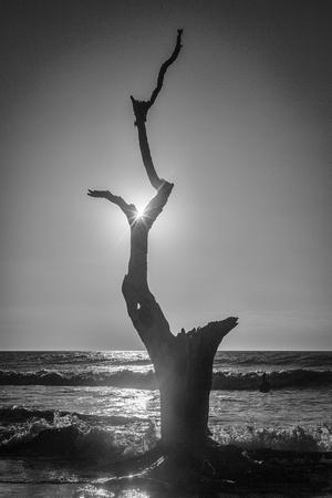 Bonyard Tree Sunstar